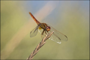 ErikHolmgaard_Dragon fly