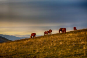 Horses in Evening Light
