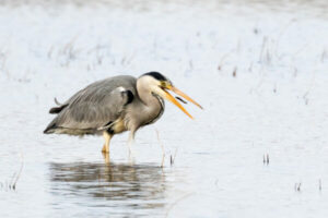 ib_corneliussen_nielsen_grey-heron-with-catch-145862e5774facf1ec91f0c990d3315228283b81